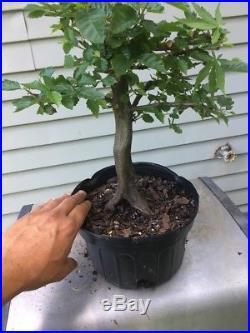 Korean Hornbeam Tree- Pre Bonsai Stock #2