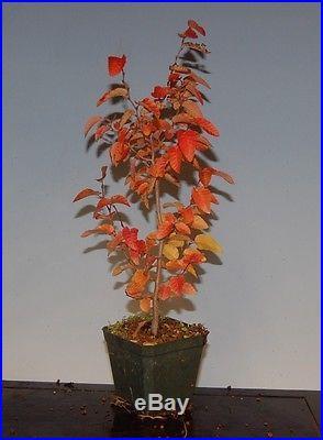 Korean Hornbeam Tree Seedling For Bonsai, Rare True From Seed. 4 inch pot