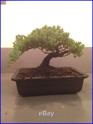 Korean bonsai tree