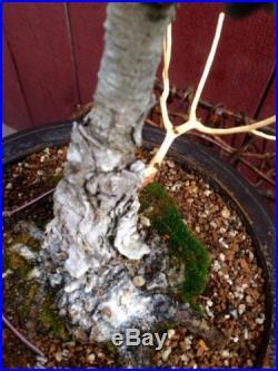 Kotobuki Dwarf Japanese Black Pine Bonsai (Pinus thunbergiana)