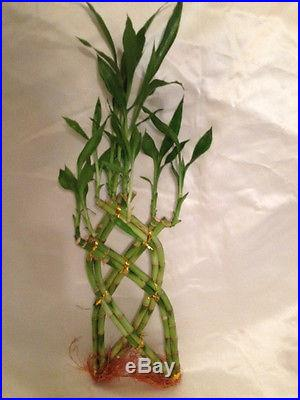 LIVE LARGE LUCKY BAMBOO BRAIDED PLANT TRELLIS 10-12 TWISTED STEMS STALKS