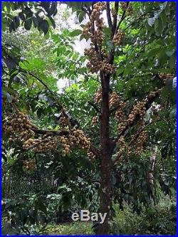 LONGKONG RARE FRUIT TREE Lansium domesticum Wollongong Live small Potd Plant