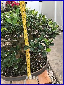 LOOK Bonsai chinese banyan bonsai tree FICUS
