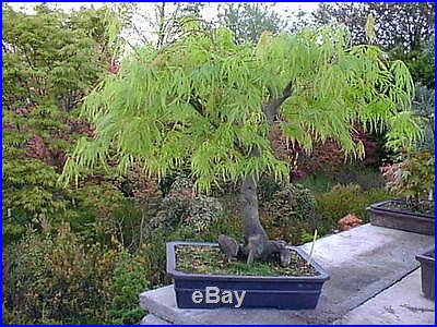 Indoor Bonsai Lace Leaf Japanese Maple Acer Palmatum Dissectum