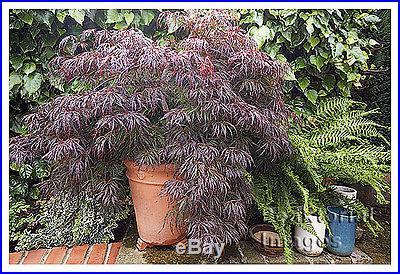 Lace Leaf Japanese Maple, Acer palmatum dissectum, Tree Seeds
