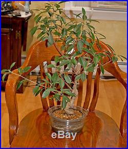 Large 25 years old FICUS Bonsai Tiger Bark Tree healthy beautiful