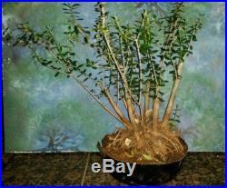 Large Beautiful Bonsai Mission Olive Tree Huge Rootball