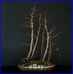 Large Bicolor Specimen Bonsai Acer Palmatum Forest
