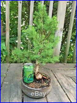 Large Bonsai Alberta Spruce Bonsai Tree Picea Glauca Conica 15+ years