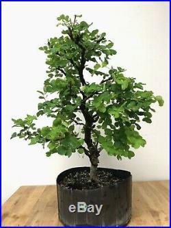 Large Campeche Pre-Bonsai Tree by The Bonsai Supply