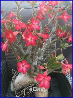 Large Desert Rose, adenium bonsai plant, multiple flowers