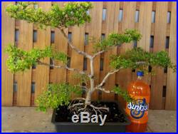 Large Dwarf Black Olive pre Bonsai Tree