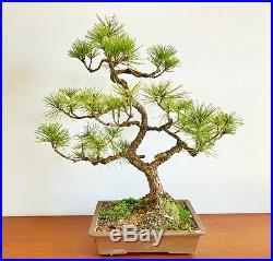 Large Japanese Black Pine (Pinus thunbergii) Bonsai In An Unglazed Japanese Pot