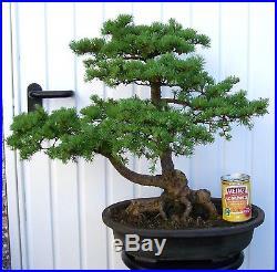 Large Larch Bonsai Tree 19