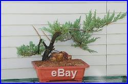 Large Old Parsoni Juniper Bonsai Tree #8556