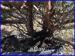 Large Old Parsoni Juniper PRE Bonsai Tree