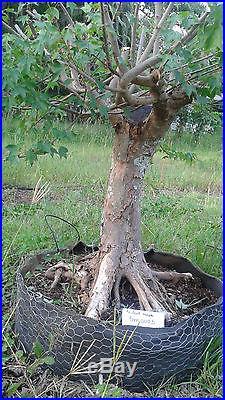 Large Old Trident Bonsai Tree