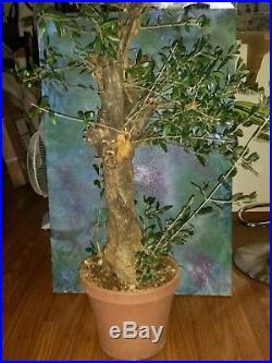 Large Pre Bonsai Style Yamadori OLIVE TREE Olea Europaea'Mission' 38 Tall