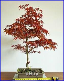 Large Red Acer Palmatum Oshio Beni Specimen Bonsai
