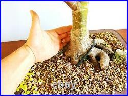 Large Specimen Japanese Acer Palmatum Shindeshojo in a nice unglazed pot