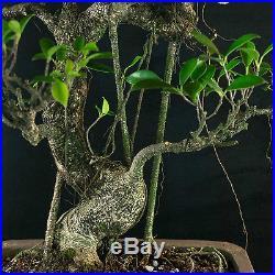 Large Taiwanese Ficus Bonsai Tree Tiger Bark # 1099