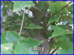 Large Trident Maple Bonsai (no Pot)