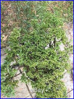 Large Trunk Juniper Pre Bonsai procumbens nana #1
