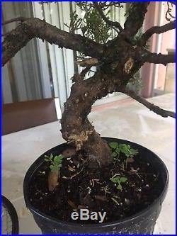 Large Trunk Juniper Pre Bonsai procumbens nana #2