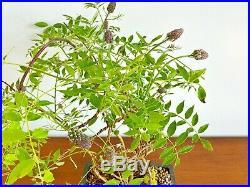 Large Wisteria Bonsai Full Of Flowers