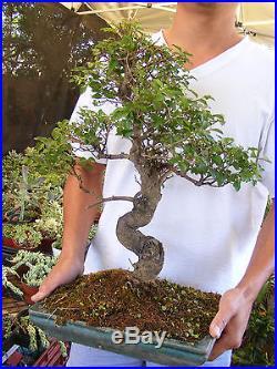 Ligustrum Bonsai Tree A Flowering Bonsai Trunk 1 inch diameter