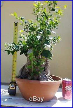 Ligustrum Texanum Flowering Bonsai Tree, Sale