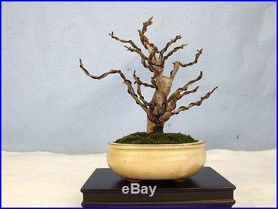 Liquidambar Specimen Shohin Bonsai Tree Like Japanese or Trident Maples