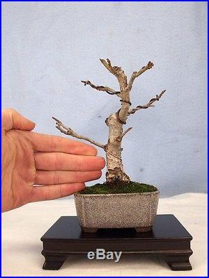 Liquidambar Specimen Shohin Bonsai Tree Like Japanese or Trident Maples! RARE