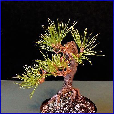 Literati Shohin Scots Pine Bonsai