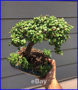 Little Jade Bonsai Tree Portulacaria Afra Succulent Dwarf Jade