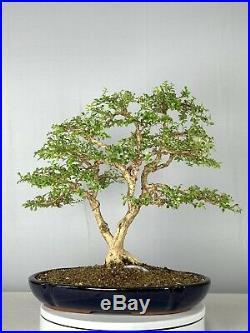 Little Leaf Boxwood