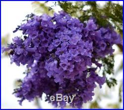 Live Bonsai Jacaranda Tree Flowering PreBonsai Specimin Blue Trumpet Blossoms