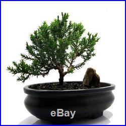 Live Bonsai Tree Juniper Tree Bonsai indoor decoration flowering House plant
