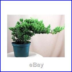 Live Japanese Juniper Bonsai Starter Tree 4 pot'Nana