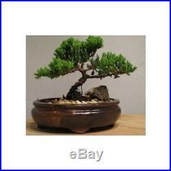 Live Juniper Tree Bonsai Best Gift