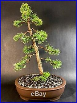 Lodgepole Pine Bonsai Tree 15-20 Years In Nice Unglazed Pot
