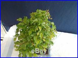 M104 Korean hornbeam iwashide (carpinus turczaninovii) bonsai