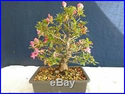 M106 Japanese Satsuki azalea (rhododendron indicum shusui) bonsai