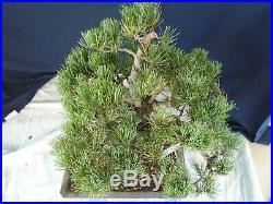 M112 Japanese white pine (pinus parviflora Miyajima) goyo matsu bonsai