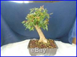 M118 Japanese trident maple tokaede acer buergerianum bonsai