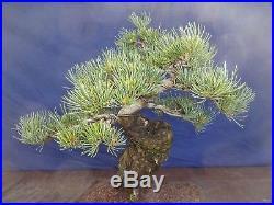 M12 Japanese white pine bonsai Miyajima goyo