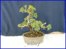 M14 Japanese shinpaku juniper juniperus chinensis shohin bonsai