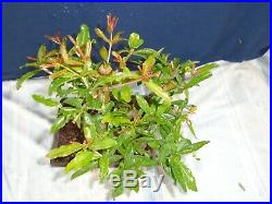 M185 Japanese pomogranate (punica granatum nejikan zakuro) bonsai starter