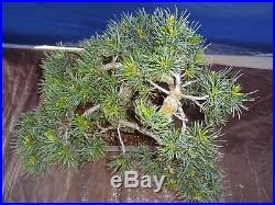M22 Japanese white pine bonsai Miyajima goyo