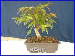 M2 Japanese maple acer palmatum bonsai
